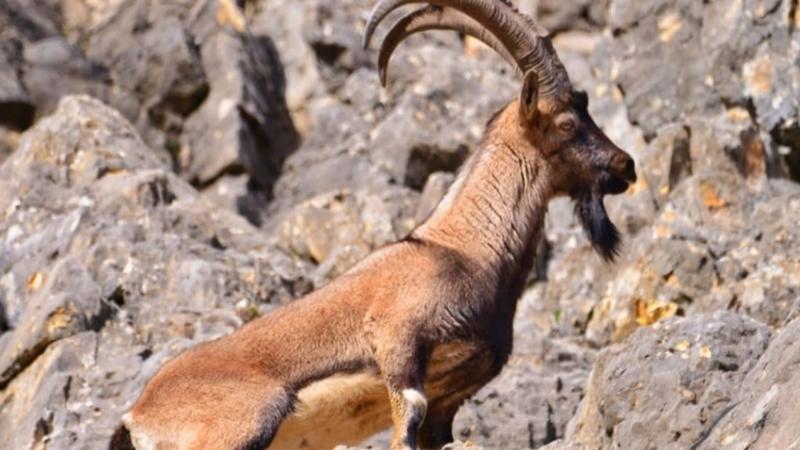 Av İhalesi İptal Edildi, Dağ Keçileri Kurtuldu