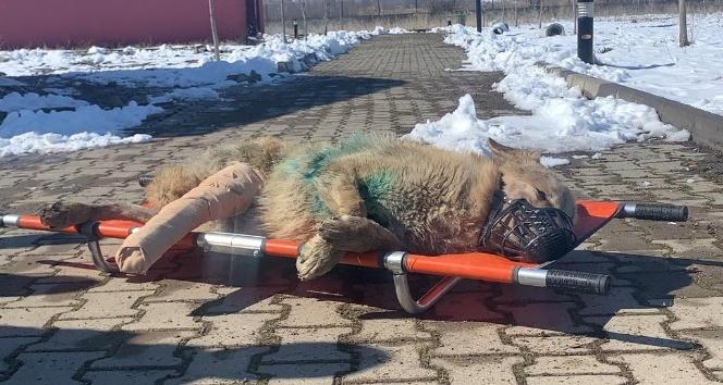 Yaralı Kurt, Kars'a Gönderildi