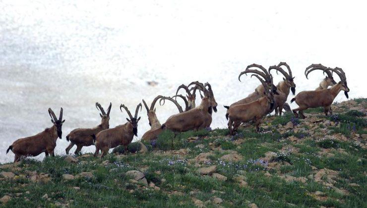 Dağ Keçileri Yeniden Hedefte!