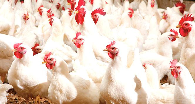 Kanatlı Hayvan Varlığı Yüzde 874 Arttı
