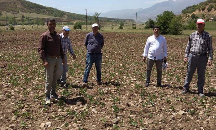 Horoz Kuru Fasulyesi Tohumları Toprakla Buluşuyor